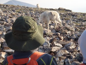 Want to see goats? Start with Couch to Colorado 14er - Training Program